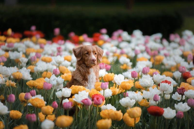 Hund i tulpanblommor Husdjur i sommar i natur Toller arkivbild