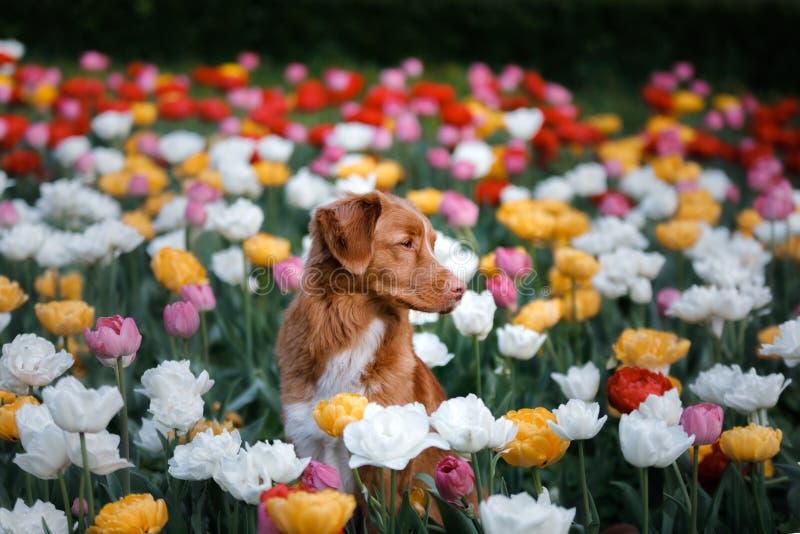 Hund i tulpanblommor Husdjur i sommar i natur Toller royaltyfri foto