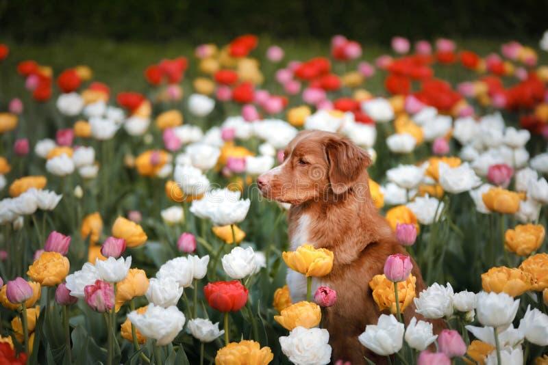 Hund i tulpanblommor Husdjur i sommar i natur Toller arkivfoto