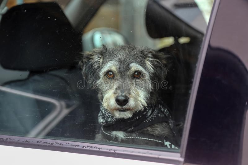 Hund im Autofenster lizenzfreies stockfoto