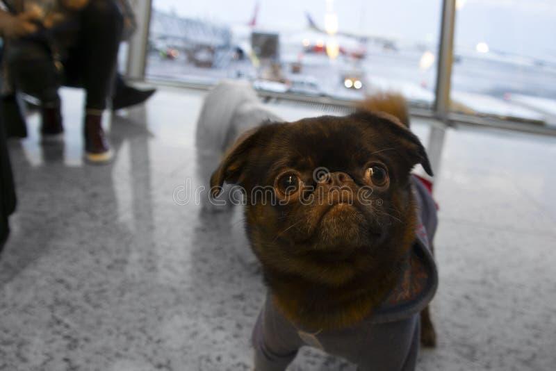 Hund im Flughafen stockbilder