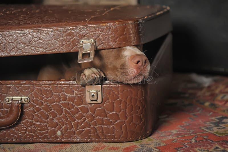 Hund im Koffer stockbilder