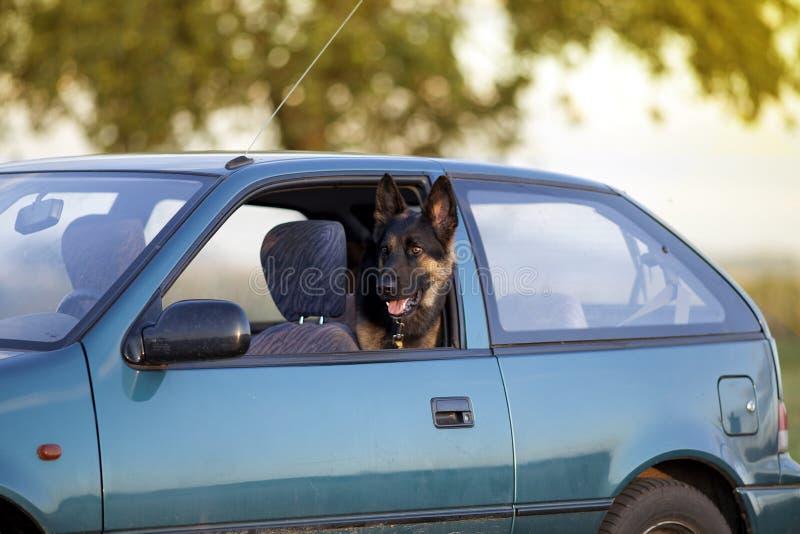 Hund im Löschwagen im Sommer lizenzfreies stockbild