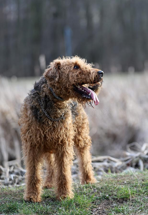 Hund im Park, Airedaleterrier in Polen stockfotos