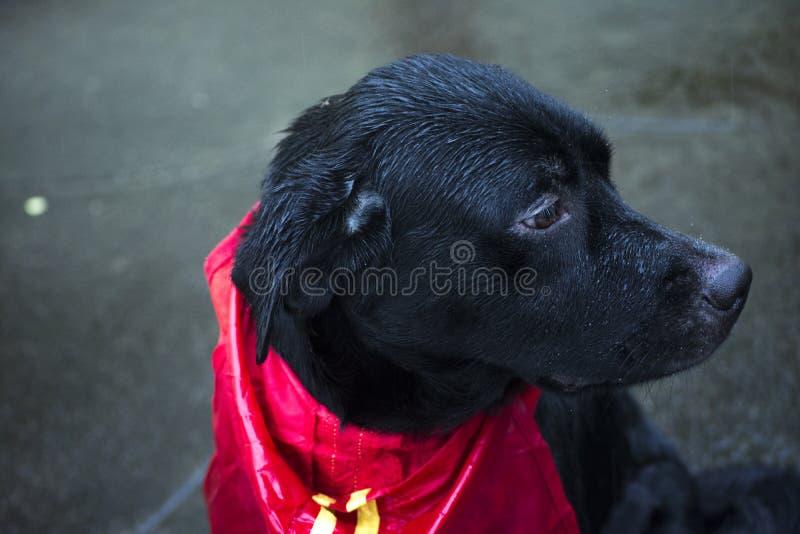 Hund im Regen stockfoto