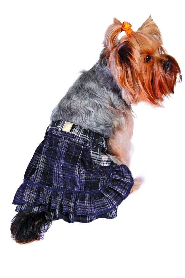 Hund im Rock lizenzfreies stockbild