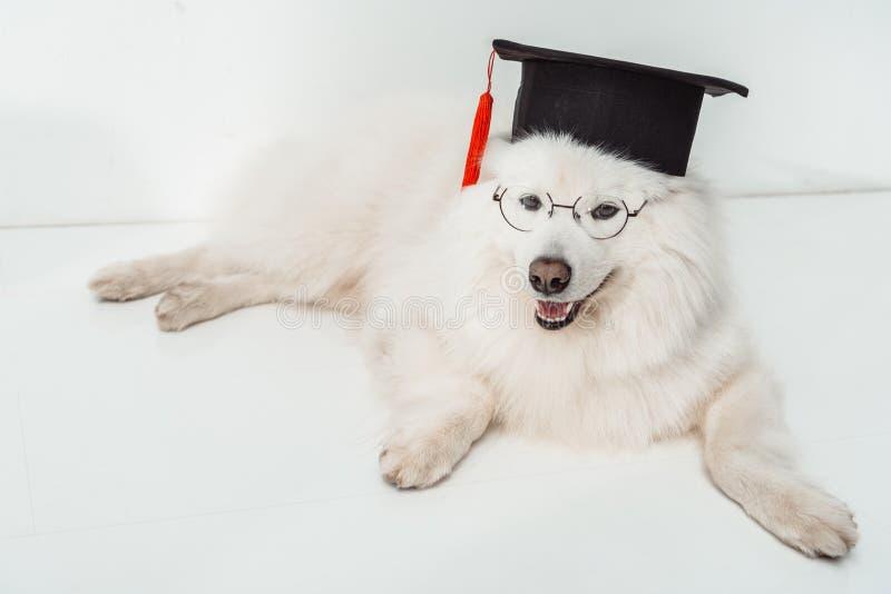 Hund im Staffelungshut und -brillen stockbild
