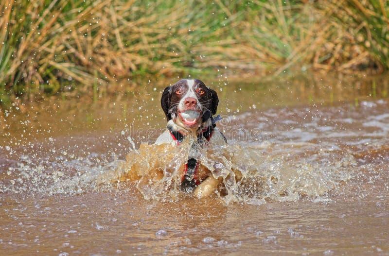 Hund im Wasser mit Ball stockbilder