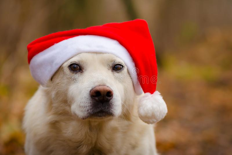 Hund im Weihnachtshut lizenzfreie stockbilder