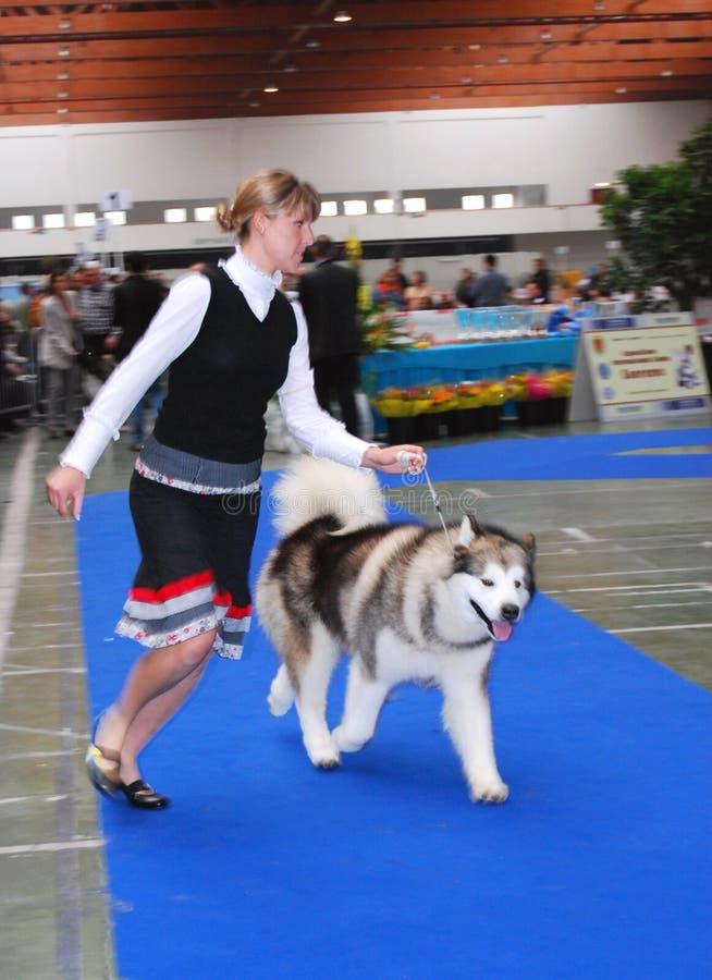 hund- internationell show royaltyfri bild