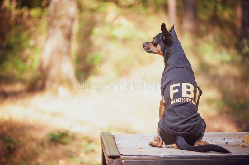 Hund ist ein FBI-Agent Lustiger Welpenspielzeugterrier stockbilder