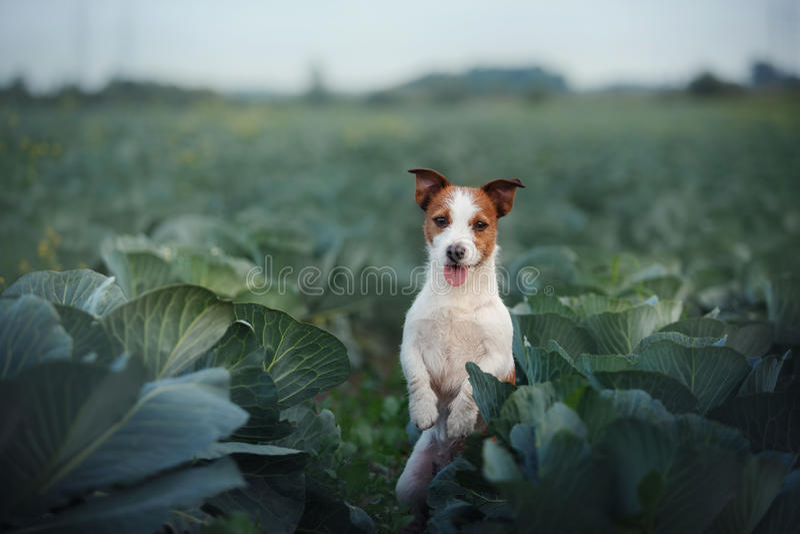 Hund Jack Russel lizenzfreies stockbild
