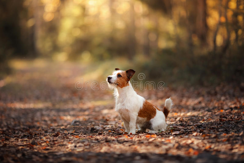Hund Jack Russel lizenzfreies stockfoto