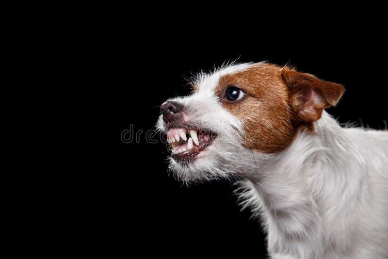 Hund Jack Russell Terrier auf dem Schwarzen, verärgert stockfoto
