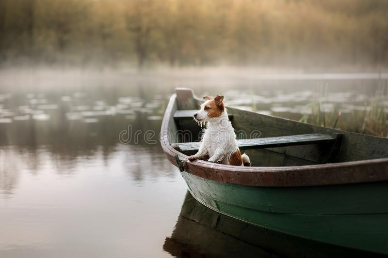 Hund Jack Russell Terrier in einem Boot stockbild