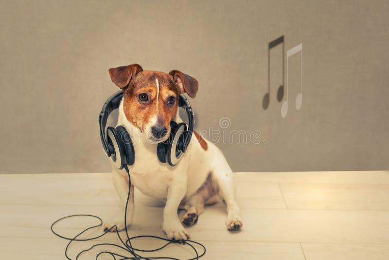 Hund Jack Russell Terrier i hörlurar arkivbild