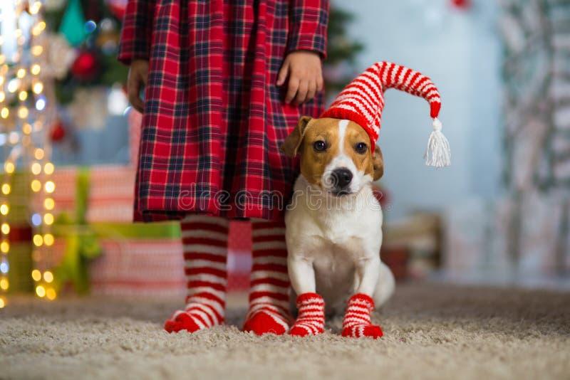 Hund Jack Russell Terrier und Beine eines kleinen Mädchens im roten Weiß stockfotos