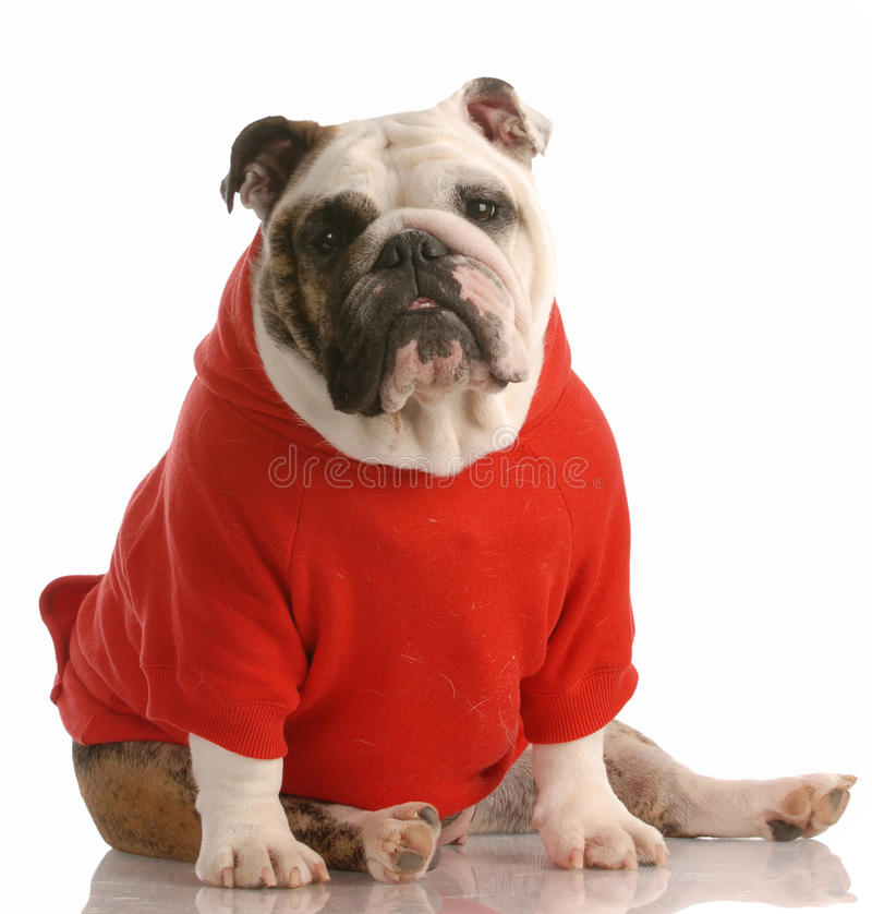 Hund kleidete im roten Hemd an stockfoto