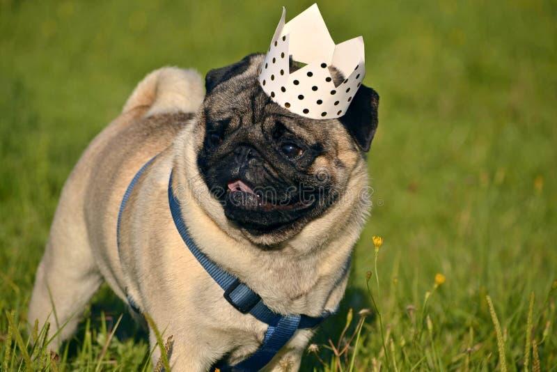 Hund-konung Ung mops-hund Ung driftig hund på en gå sun rolig framsida Hur man skyddar din hund från överhettning royaltyfria foton