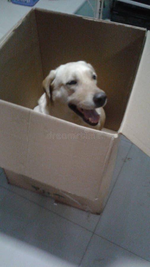 hund labrador arkivfoton