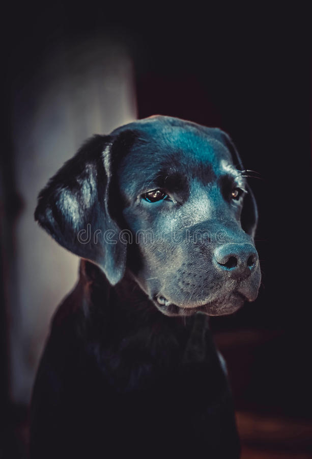 hund labrador royaltyfri foto