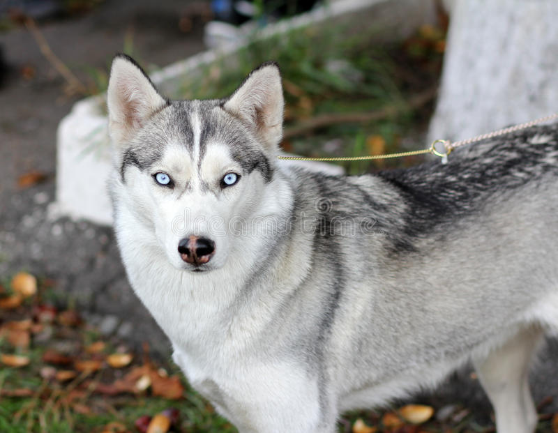 Hund Laika för blåa ögon royaltyfri fotografi