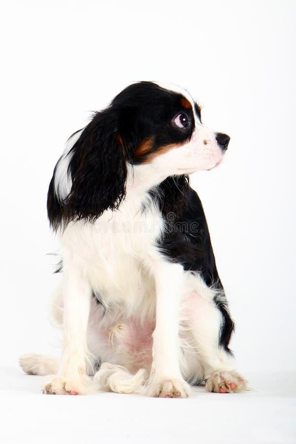 hund little royaltyfri bild