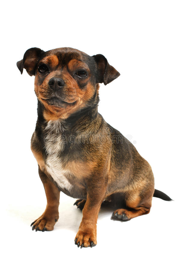 hund little royaltyfria bilder