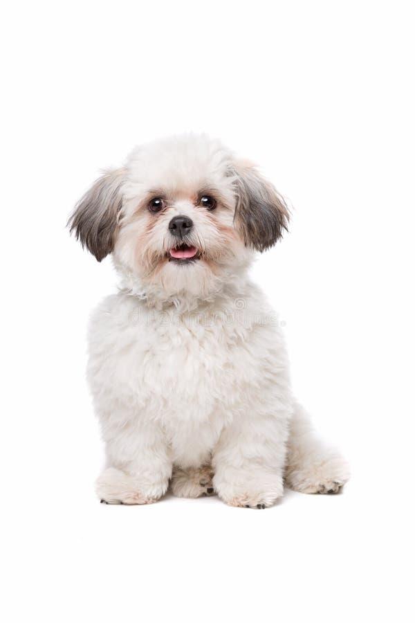 hund little som är vit royaltyfri foto