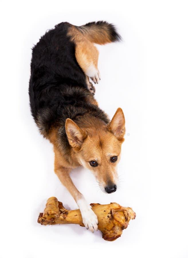 Hund med ben royaltyfria bilder