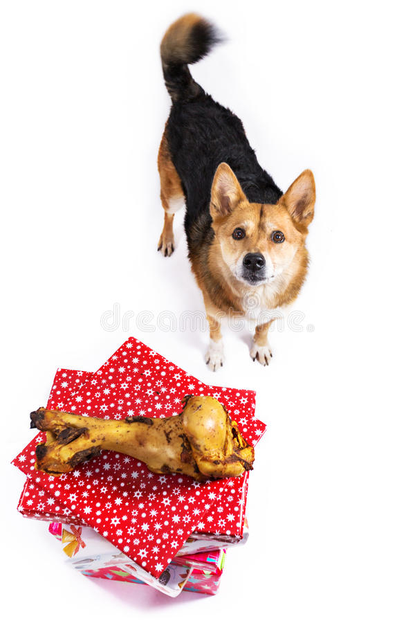 Hund med benet royaltyfria bilder