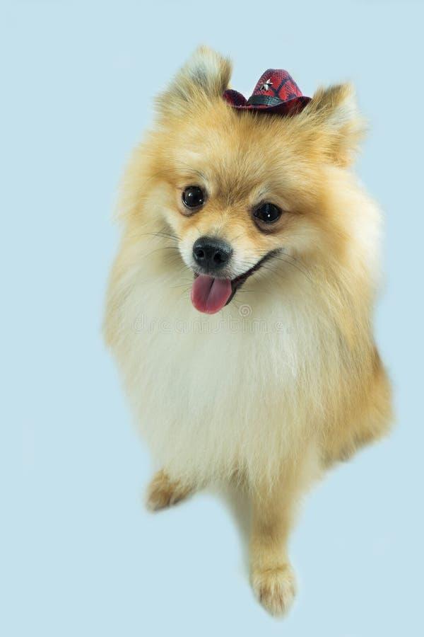 Hund med cowboyhatten royaltyfria bilder