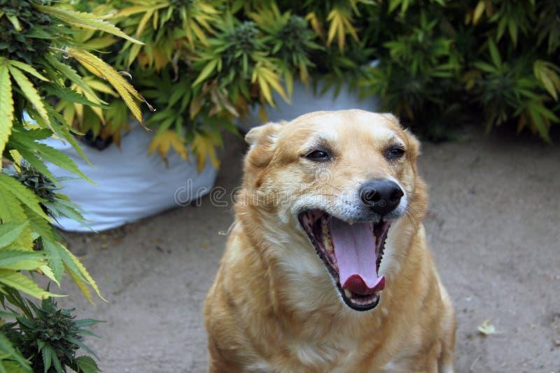 Hund med den öppna munnen bland cannabis royaltyfri foto