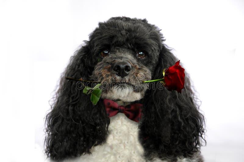 Hund med den röda rosen royaltyfri fotografi