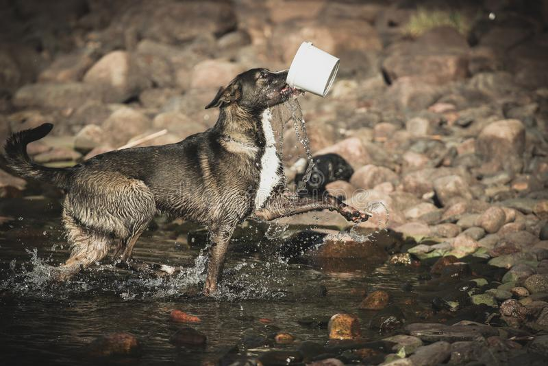 Hund med en hink royaltyfri fotografi