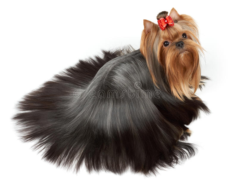Hund med exakt kammat hår royaltyfri bild