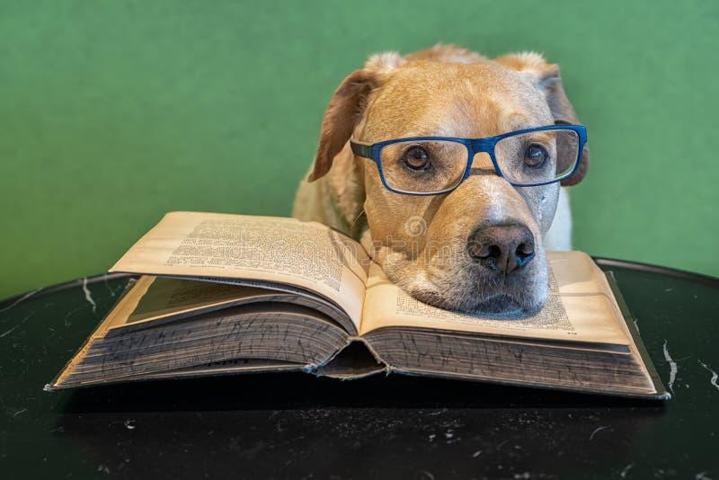 Hund med glasögon som ligger på den öppna stora boken avl?saren tr?ttade Studie f?r examina arkivfoto