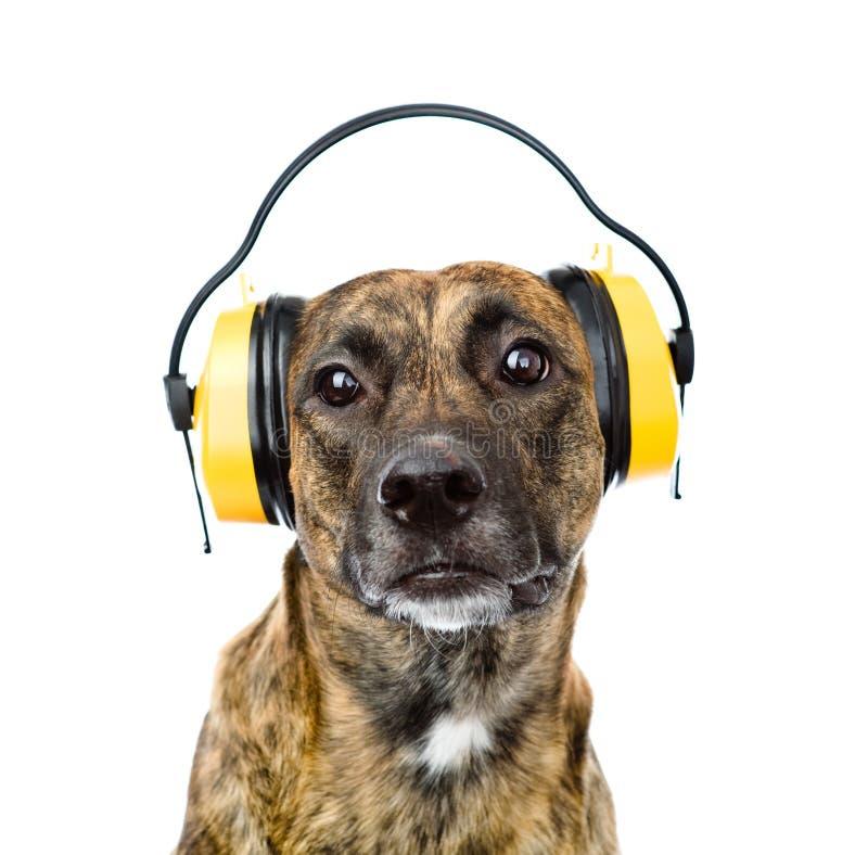 Hund med hörlurar för öraskydd från oväsen isolerat fotografering för bildbyråer