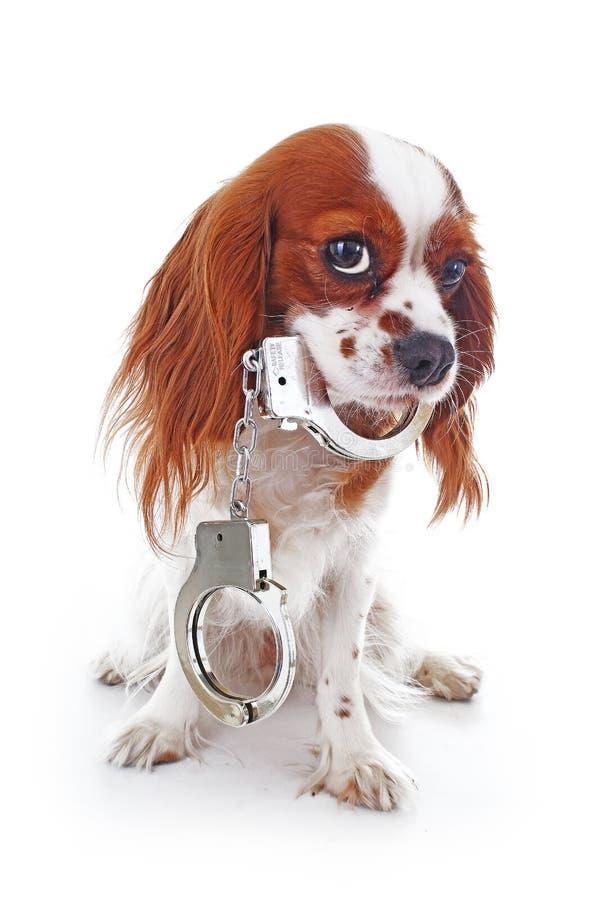 Hund med handbojor Illustration mot djur grymhet eller annat begrepp Stolta för spanielhund för konung charles foto för valp arkivfoto
