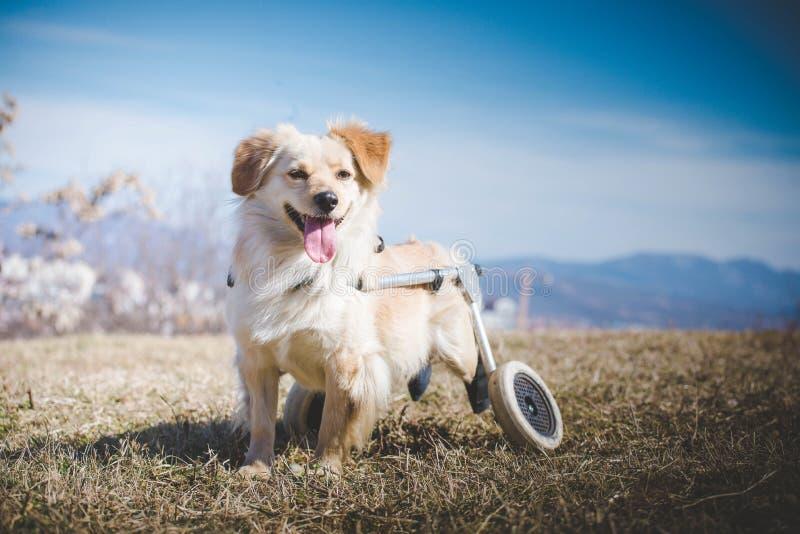 Hund med handikapp i en rullstol royaltyfri fotografi