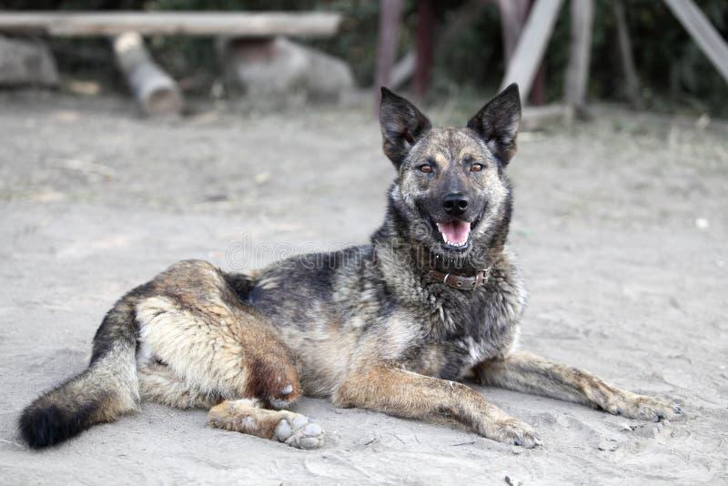 Hund med inget ben Olyckligt djur royaltyfri bild