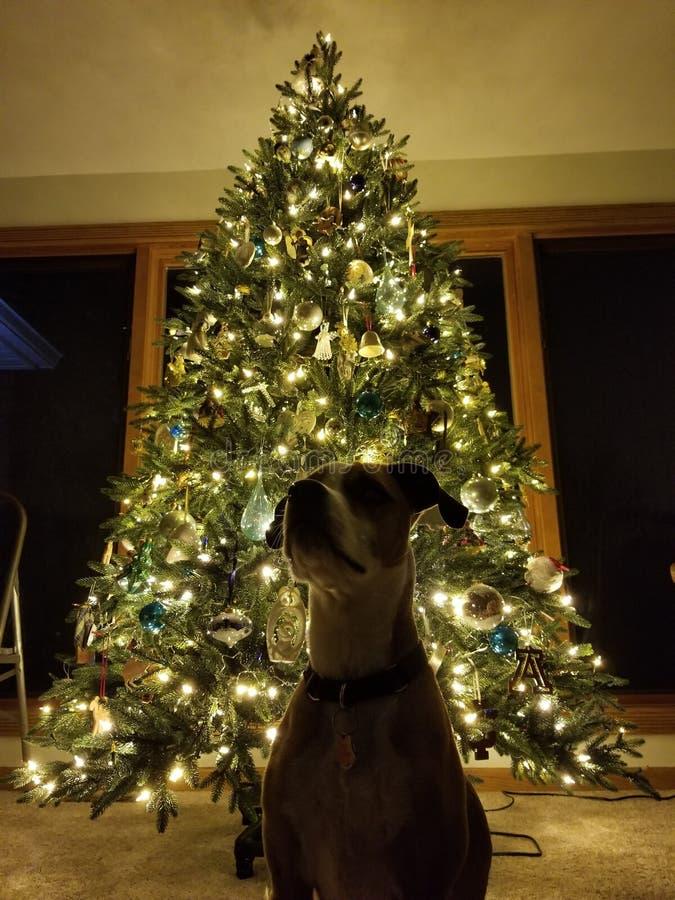 Hund med julgranen royaltyfri bild