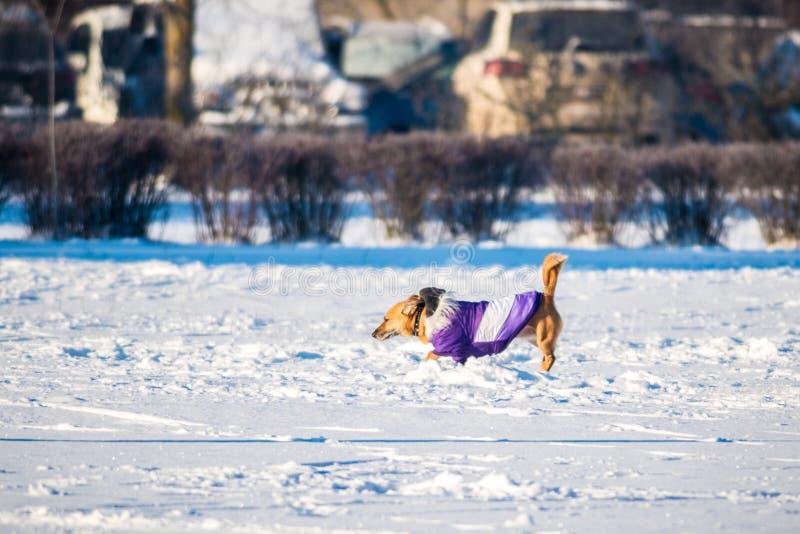 Hund med kläder royaltyfria foton