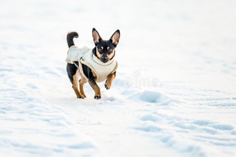 Hund med kläder arkivfoto