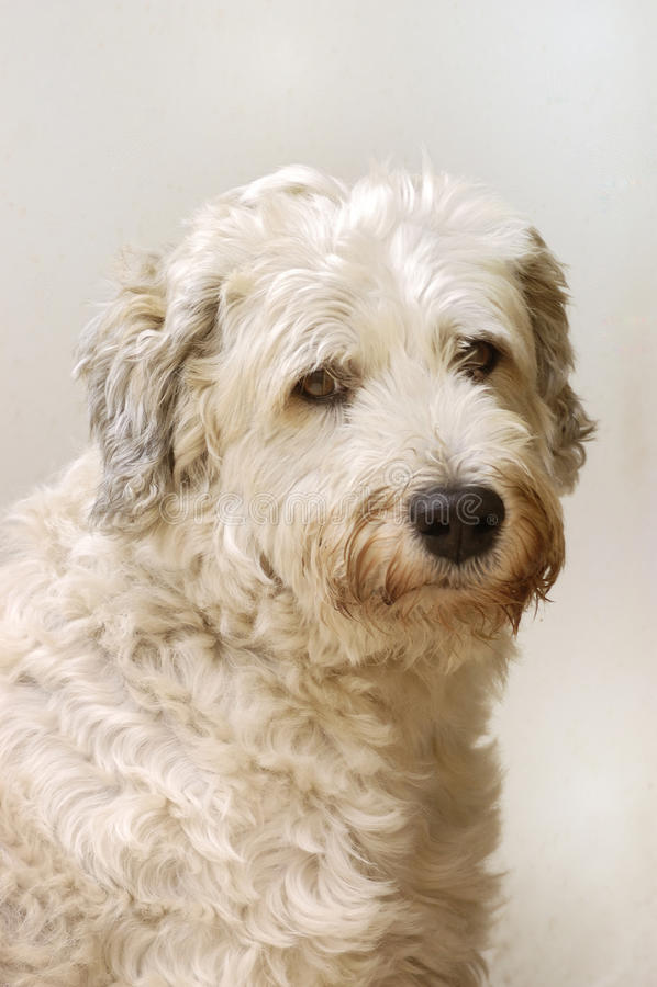 Hund med mjuk blick royaltyfri bild