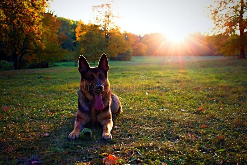 Hund med solnedgång för solsommarvår royaltyfria foton