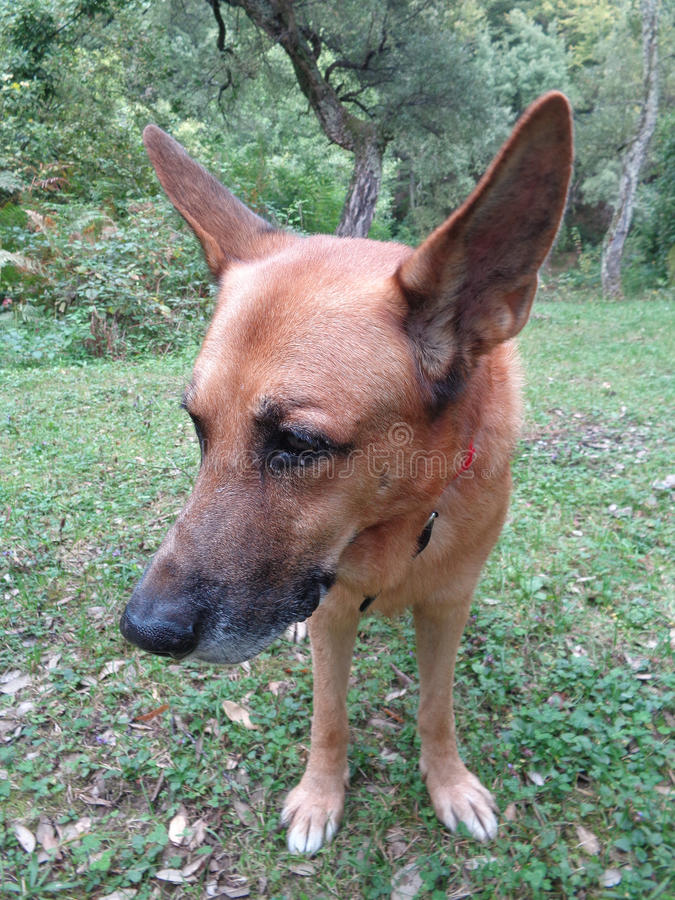 Hund med stora öron på bakgrunden av naturen arkivbild
