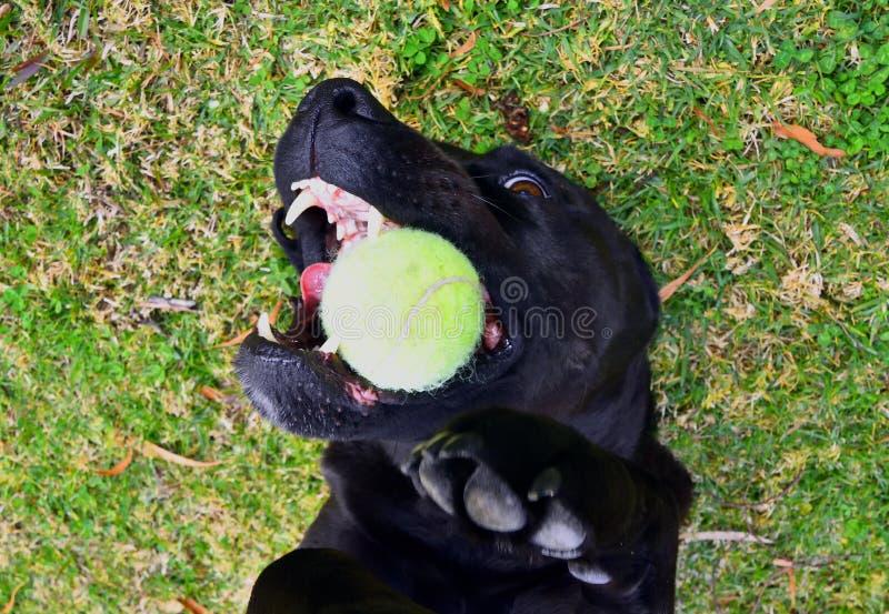 Hund med tennisbollen royaltyfria foton