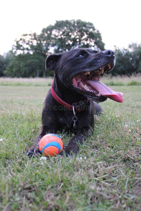 Hund mit dem Ball, der oben auf einen grasartigen Feldabschluß legt lizenzfreie stockbilder