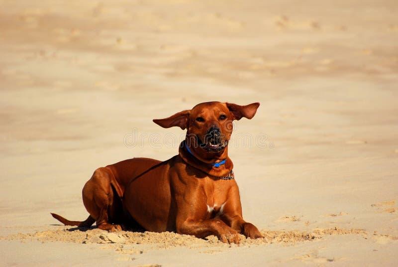 Hund mit den Flugwesenohren stockfotos